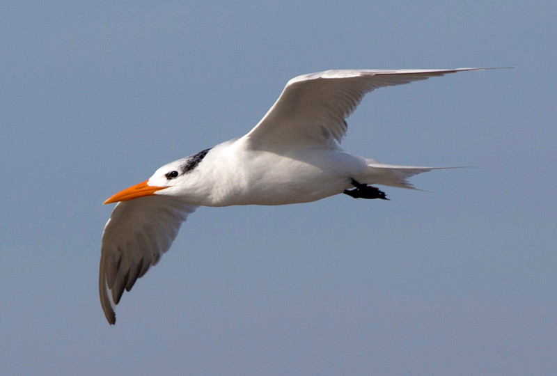 A Royal Tern in flight