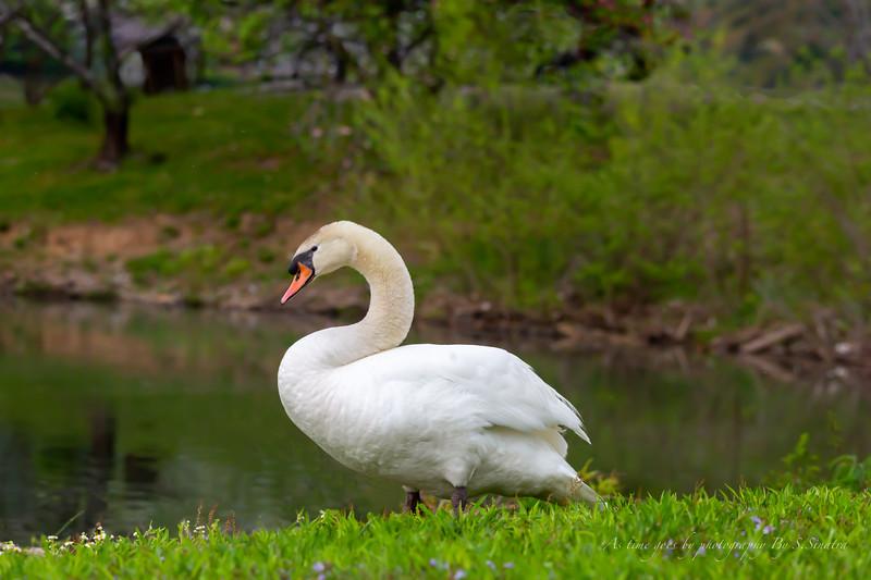 mute swan signed-25.JPG