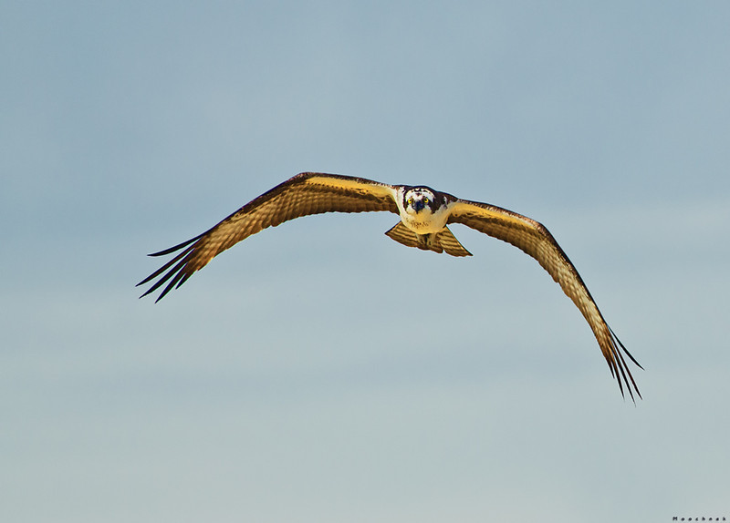 Osprey over the 16th hole