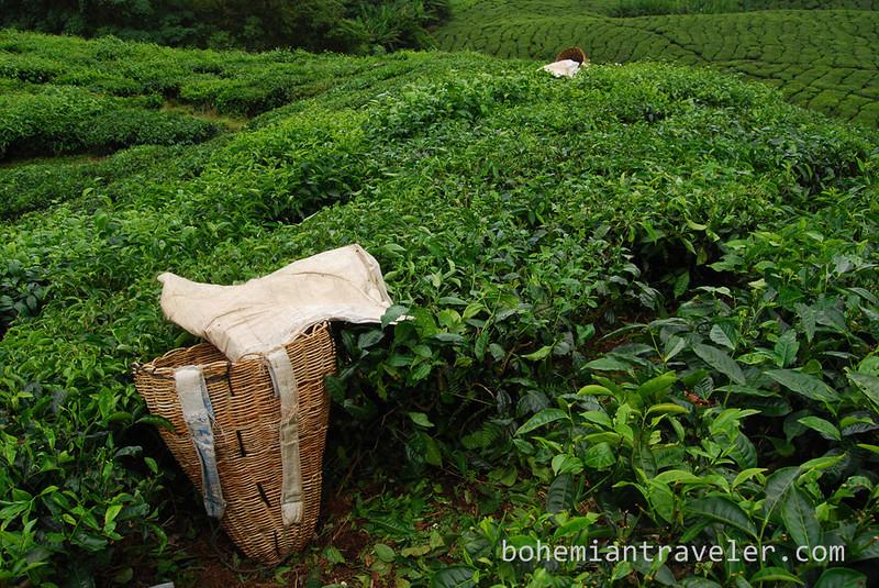 Cameron Highlands Malaysia Tea fields [Boh] (5).jpg