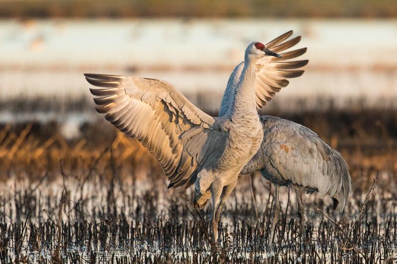 Sandhill Cranes Winter 2018-3.jpg