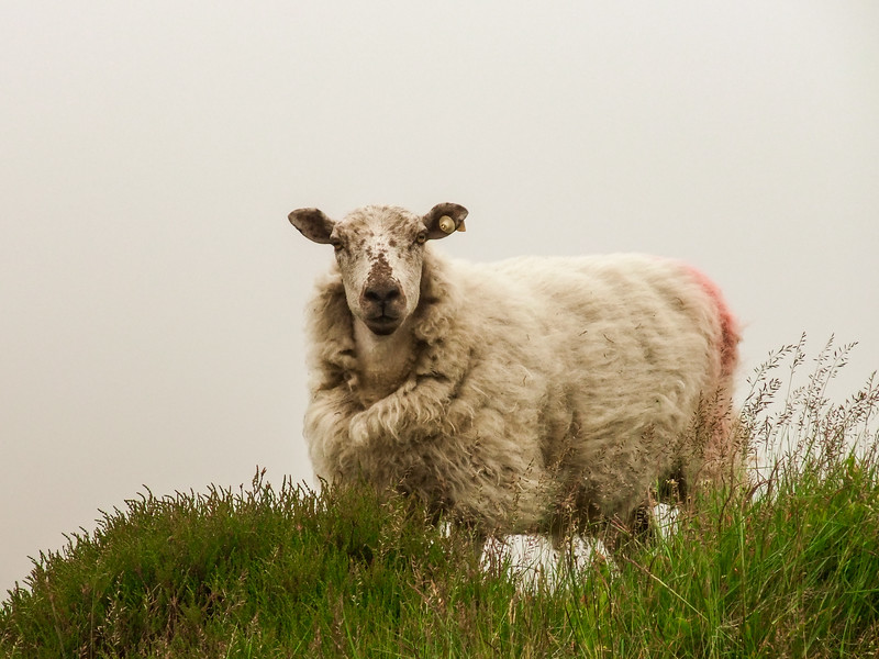 Sheep in the mist on Black Mountain