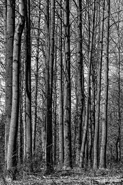 Stand of Trees