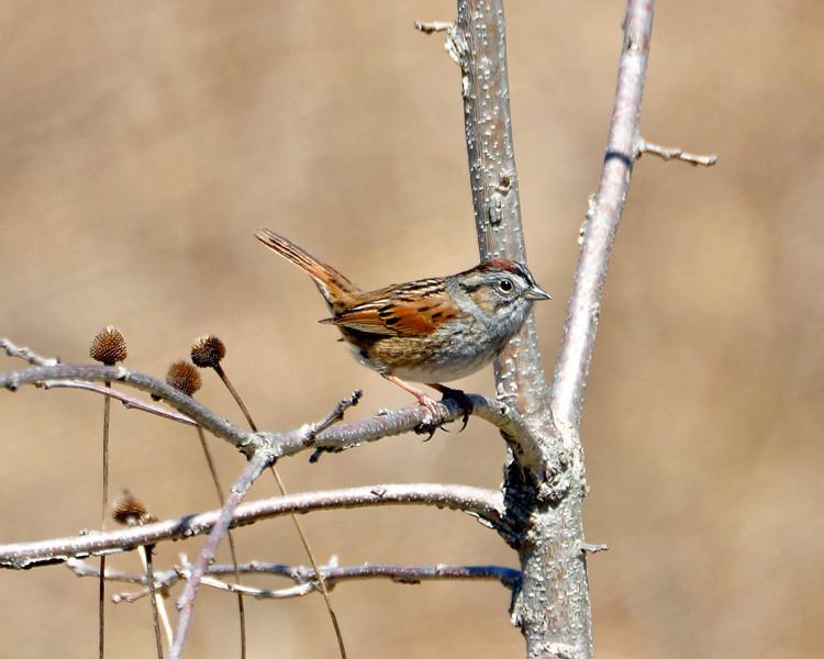 Swamp Sparrow C6908