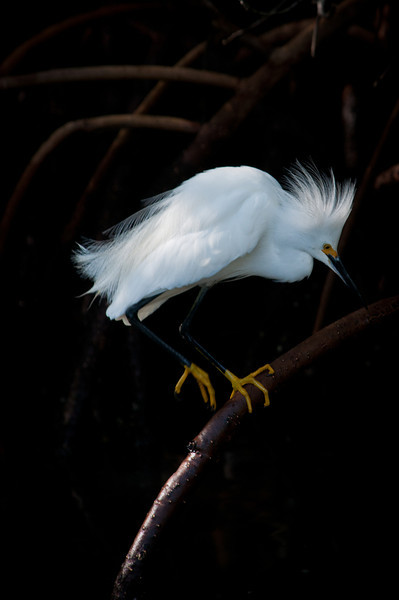 There were at least 30 Snowy Egrets feeding and showing off in a small pond off of Wildlife Drive At Ding Darling Wildlife Refuge. The lighting was perfect.