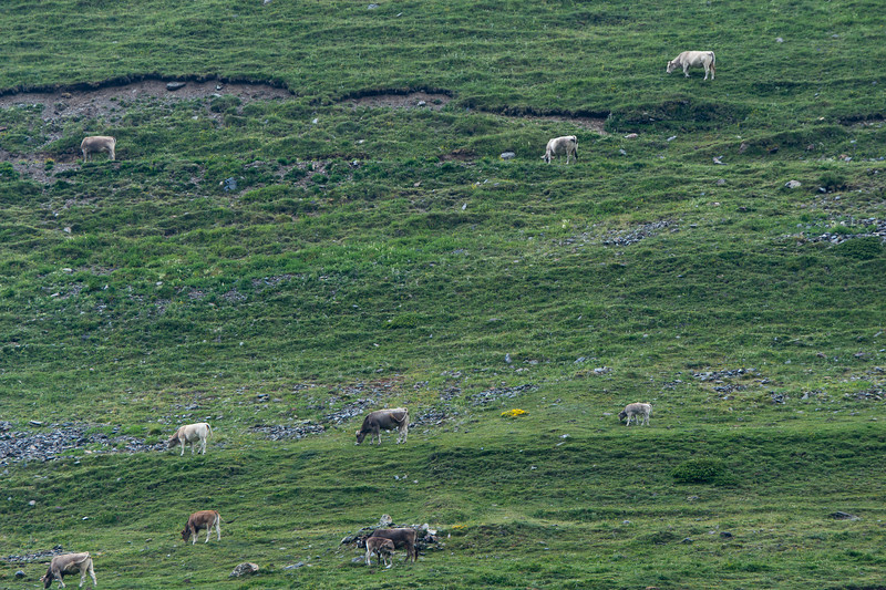 Cows feeding on the meadows of Pyrenees Mountain in Vall de Nuria, Catalonia, Spain