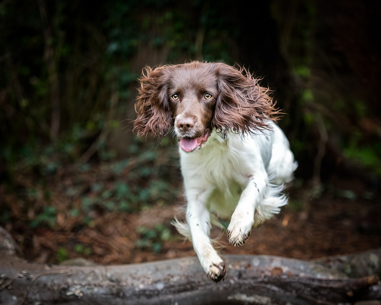 127200-Pippa-the-Springer2019.jpg