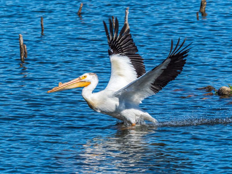 03 0086 Pelican Spread.jpg