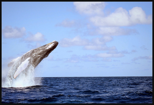 Humpback Whales of the Silver Bank