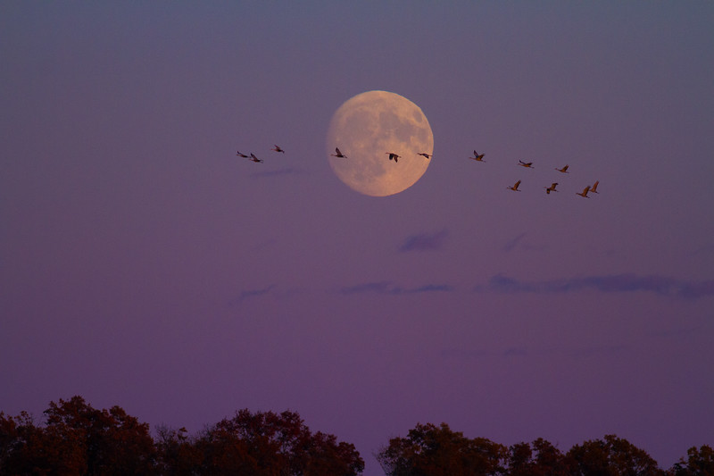 Sandhill Crane full moon fly in flight Crex Meadows Grantsburg WI IMG_1950.jpg