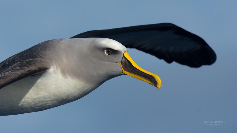 Buller's Albatross, Eaglehawk Neck Pelagic, TAS, July 2015-8.jpg
