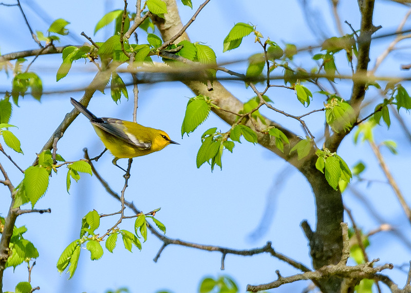 Blue-winged Warbler at Beanblossom Bottoms Nature Preserve, Ellettsville, IN