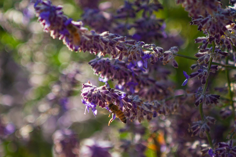Russian Sage | September 2015