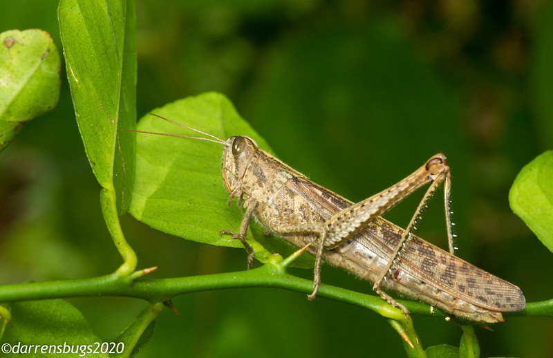 Grasshopper from Panama.