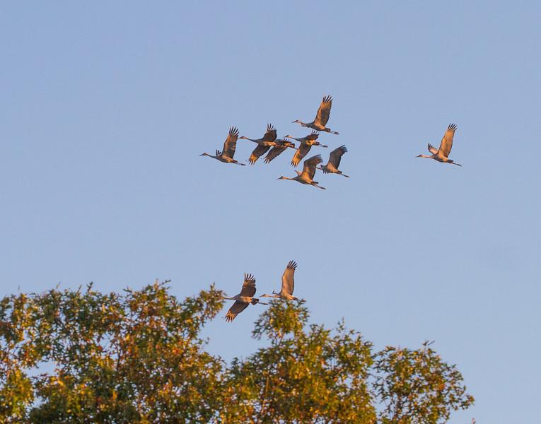 Sandhill Crane flock fly-in Crex Meadows Grantsburg WI IMG_0035.jpg