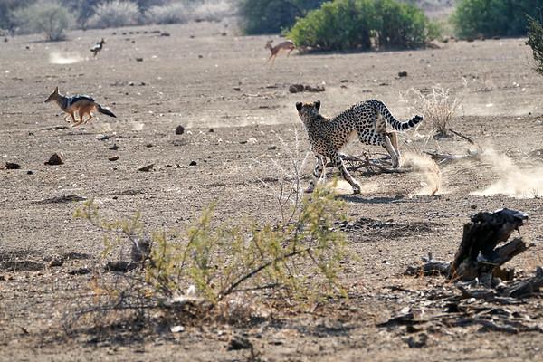 Cheetah Jackal Interaction Mashatu Botswana 2019