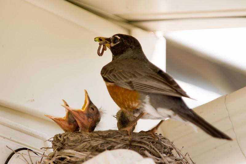 048 Spring 2007 Robin Nest.jpg