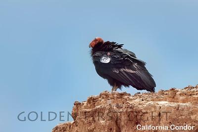 California Condor, Navajo Bridge Page AZ, USA