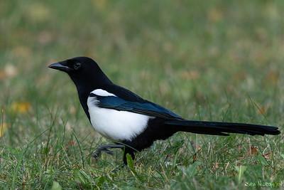 Skjære (Eurasian Magpie)