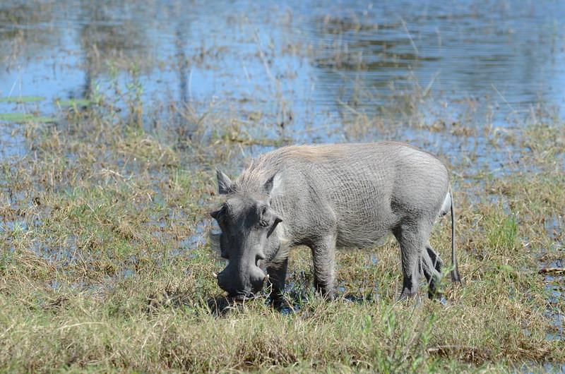 62 - Warthog - Chitabe - Anne Davis