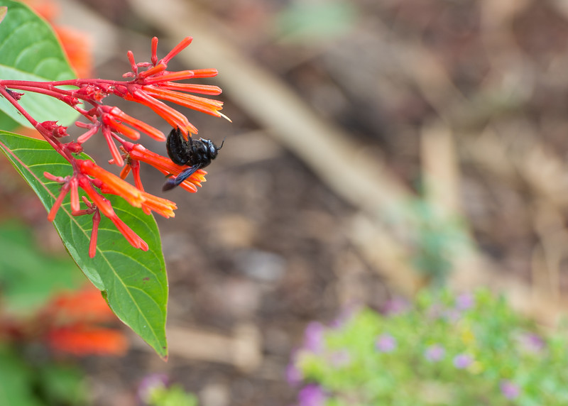 A bee rest on a flower at the Island University.