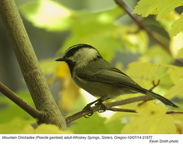 Mountain Chickadee A21877.jpg