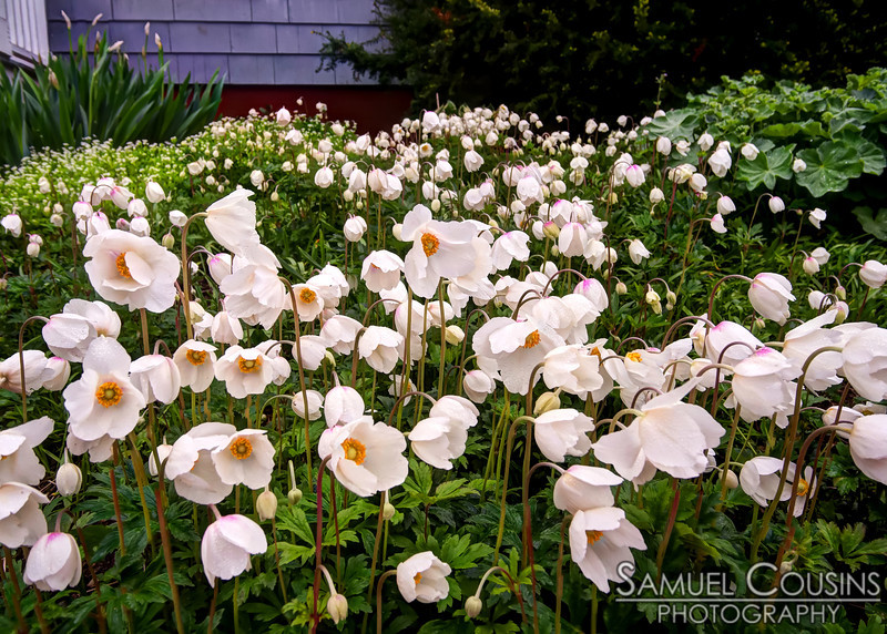 Flowers growing in a neighbor's garden.