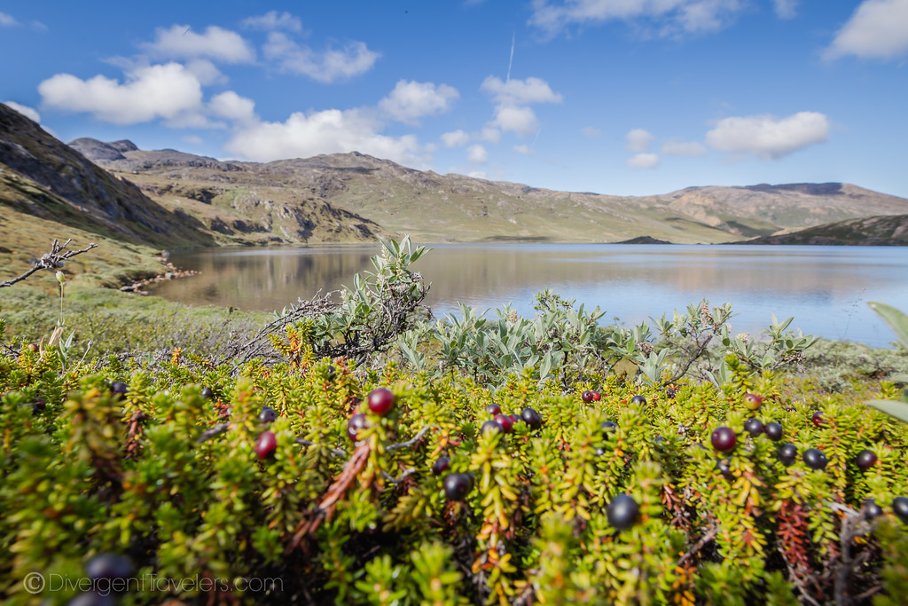 Berries in Greenland during summer