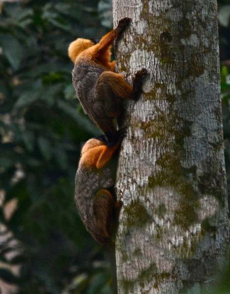 Golden-mantled tamarins (Saguinus tripartitus)