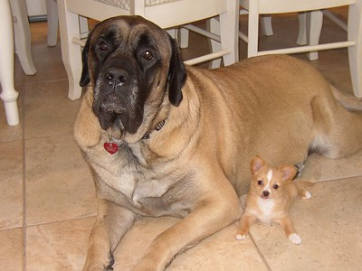 Can a Tiny Dog & Big Dog share the same home?