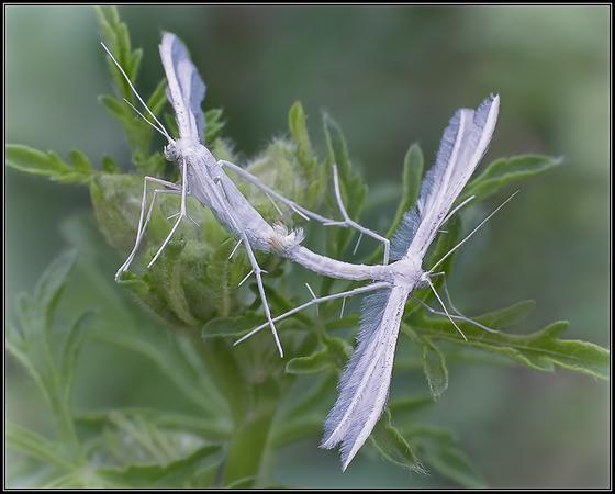 Sneeuwwitte vedermot/White Plume Moth