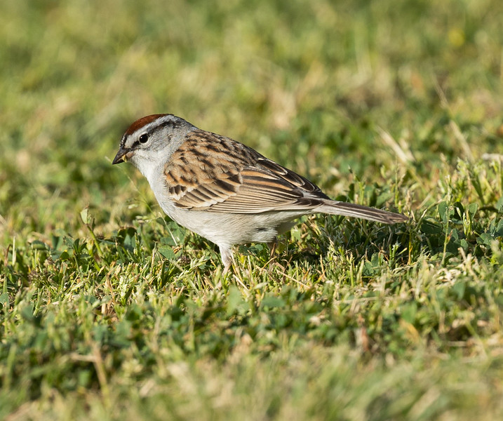 Chipping Sparrow Buddy Todd Park 2021 04 06-217.CR3