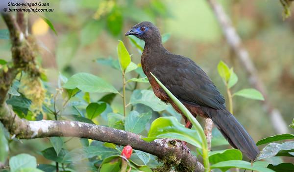 Sickle-winged Guan Chamaepetes goudotii