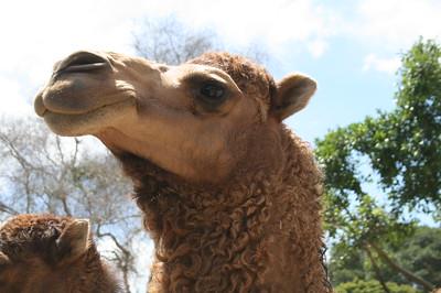 Dromedary Camel Feeding
