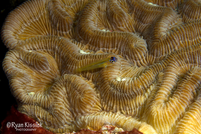 Small goby on top of coral
