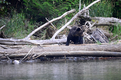 17-09-13  Grizzly Sow & Cubs