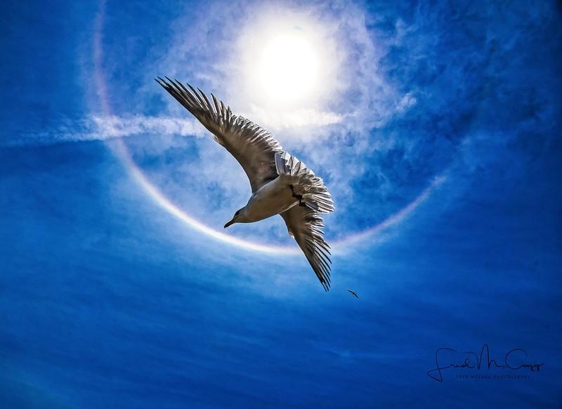 sun dawg seagull3.jpg
