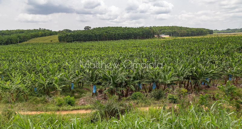 Plantain or banana plantations in Ivory Coast  Cot d'Ivoire