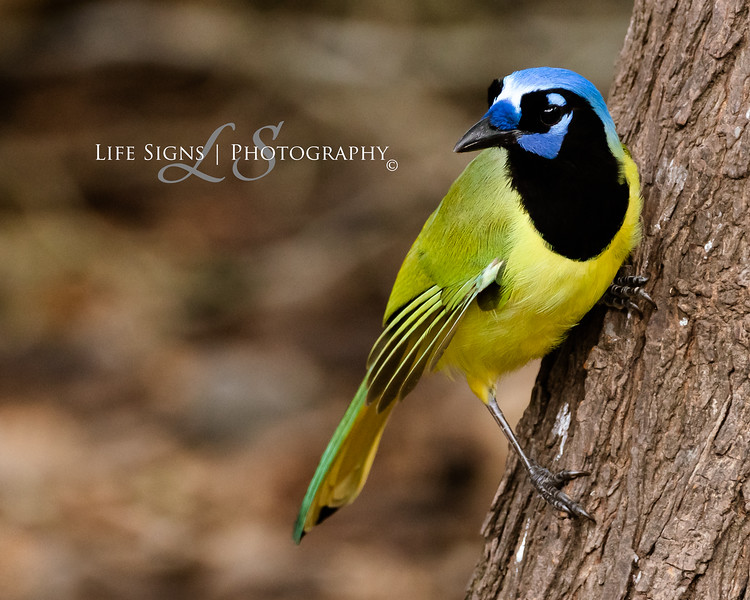 LS - Bird - Green Jay-1.JPG