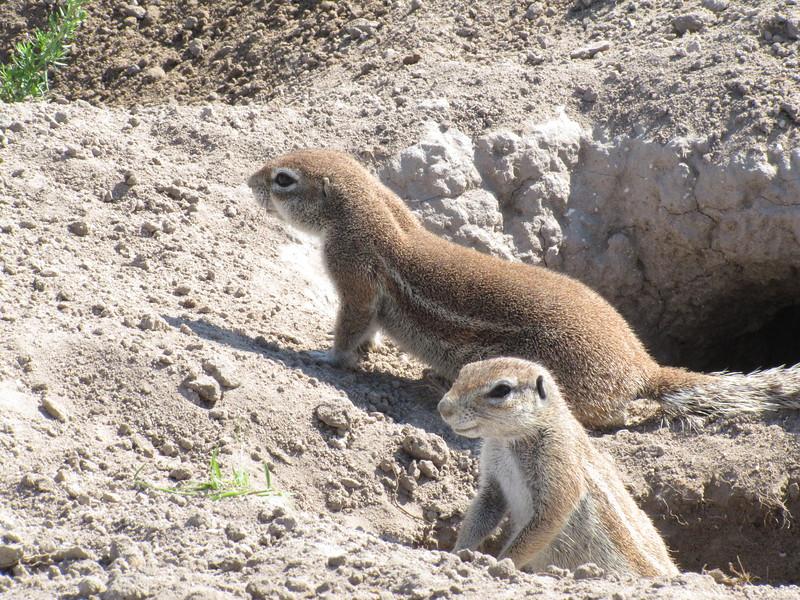 Ground Squirrels - Dick Lewis