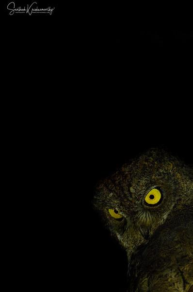 Waldens-Scops-owl-watches-night-andaman-2.jpg