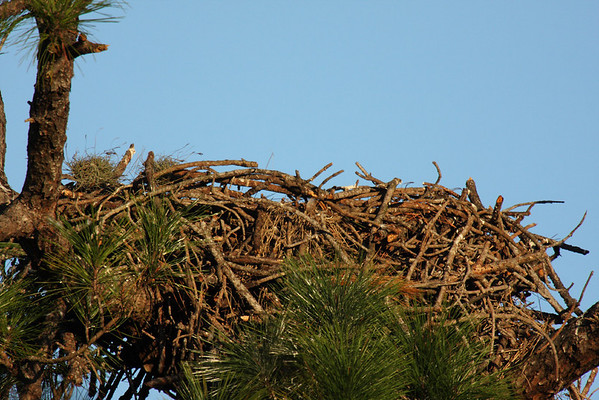 20100126 Bald Eagles In Their Nest