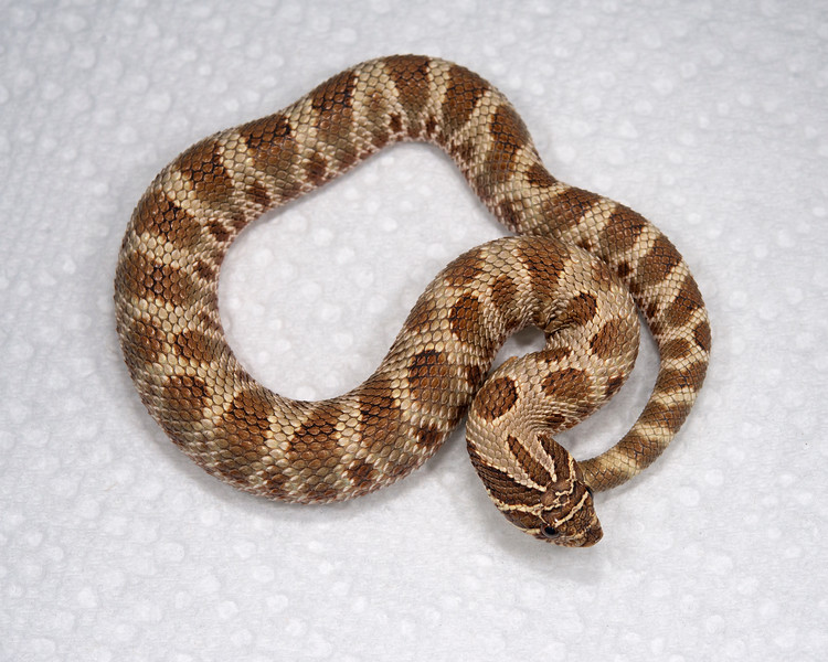Anaconda Het Albino Hognose (HG02), Male, 21 grams, Sold, Jeremy S.