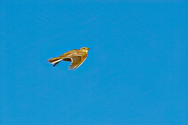 Skylark Ascending 2282--2.jpg