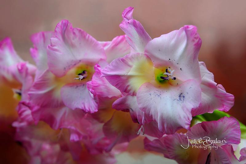 gladiolo rosa 066.jpg