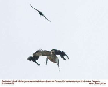 RedTailedHawk&Crows0159.jpg