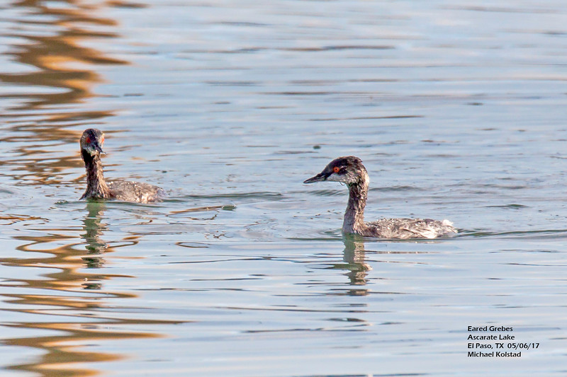 IMG_3080 3T ^ Eared Grebes Ascarate Lake.jpg