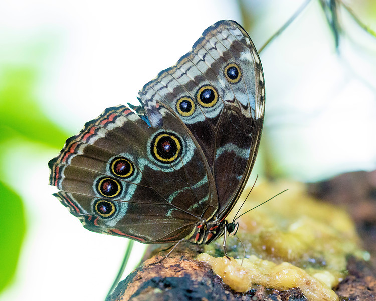 A Blue Morpho Butterfly.   The tops of its open wings are deep blue.
