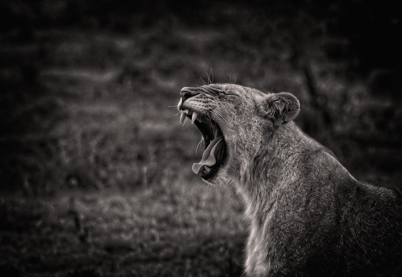 Yawning Female Lion B&W 3