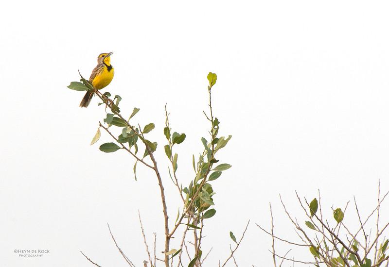 Yellow-throated Longclaw, Hluhluwe-Imfolozi NP, KZN, SA, Jan 2014-1.jpg